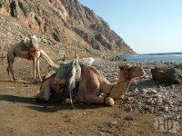 DAHAB - safari na velbloudech